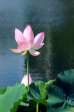 Standing of the pink lotus. Flower gardening, pink lotus, beautiful blossom, green lotus leaves, clear streams, the ecological environment Royalty Free Stock Photography