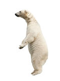 Standing polar bear Royalty Free Stock Image