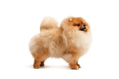 Standing pomeranian spitz Royalty Free Stock Photo