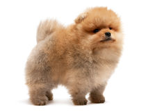 Standing pomeranian spitz puppy Stock Photos