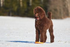 Standing poodle in winter Royalty Free Stock Images