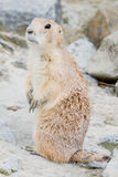 Standing prairie dog Stock Images