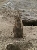 Standing Prairie Dog Looking Forward Stock Images