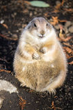 Standing prairie dog Royalty Free Stock Photography
