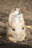 Standing prairie dog Stock Photos