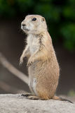 Standing prarie dog Stock Image