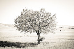 Standing Proud. Tree standing alone in a field Stock Photography