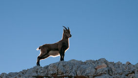Standing proudly. Chamois stands on a ledge high above in the mountains Royalty Free Stock Image
