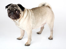 Standing Pug Stock Images