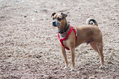 Standing puggle. A puggle stands at attention in the park Stock Image