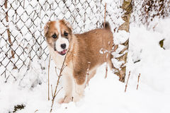 Standing puppy Royalty Free Stock Photos