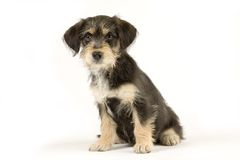 Standing puppy Royalty Free Stock Image