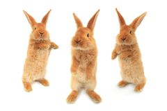 Standing rabbit Royalty Free Stock Photo