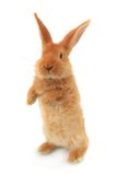Standing rabbit Royalty Free Stock Photos