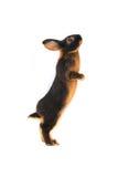 Standing rabbit Royalty Free Stock Photos