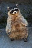 Standing racoon. Racoon standing near gray wall Royalty Free Stock Images