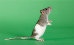 Standing rat. Very small rat on a green background Stock Photography