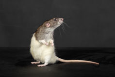 Standing rat Royalty Free Stock Photo