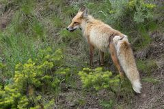 Standing Red Fox stock image