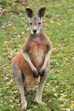 Standing red kangaroo. The standing red kangaroo in the grass Stock Images