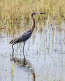 Standing Reddish Egret. A reddish egret stands in a Florida wetland stalking fish in shallow water Stock Images