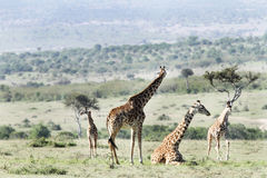 A standing and a resting Giraffe Stock Photos
