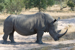 Standing rhino. A rhino stands on a sand road crossing in the African bush Royalty Free Stock Photos