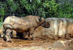Standing rhino at animal reserve Stock Photography