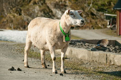 The standing on a road ewe with a bell on its neck. The close-up photo of the sheep standing on a road royalty free stock photography