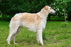 Standing russian wolfhound Royalty Free Stock Photo