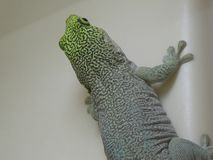 Standing`s day gecko looking out at the world