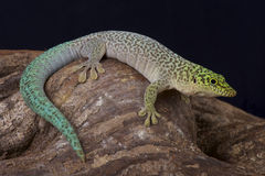 Standing's day gecko / Phelsuma standingi. Standing's day gecko / Phelsuma standing is the largest living day gecko species. They are found in the arid south of Stock Photography