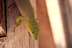 Standing`s day gecko Phelsuma standingi. At Zombitse-Vohibasia National Park, Madagascar Royalty Free Stock Photo