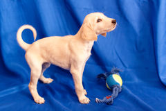 Standing saluki pup Stock Images
