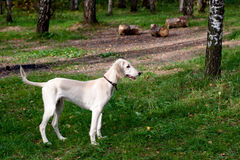 Standing saluki puppy Royalty Free Stock Image