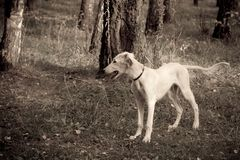 Standing saluki puppy Royalty Free Stock Photo