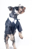 Standing Schnauzer Royalty Free Stock Image