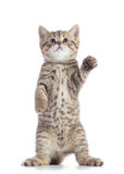 Standing scottish straight cat kitten looking up isolated over white background Stock Images