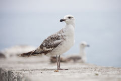 Standing sea gull bird. Wild animal. Nature Royalty Free Stock Images