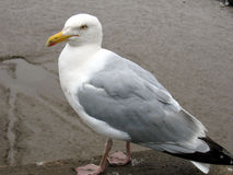 Standing Seagull. Seagull sat on sea wall, waiting to be fed stock photos