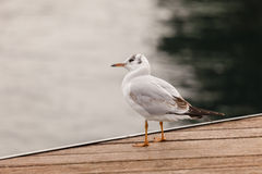Standing seagull. A seagull standing on the dock Stock Photos