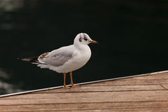 Standing seagull. A seagull standing on the dock stock photography
