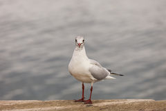Standing seagull. A seagull standing on the dock Royalty Free Stock Photos