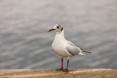 Standing seagull. A seagull standing on the dock royalty free stock photography