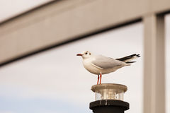 Standing seagull. A seagull standing on a street lamp Royalty Free Stock Photo