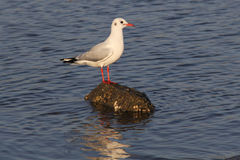 Standing seagull Royalty Free Stock Image