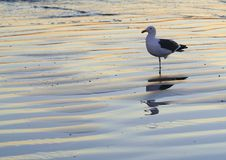 Standing Seagull. Seagull nervously watches photographers steady approach at Southern California beach shortly after sunset. (Coronado, CA Stock Image