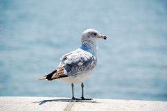 A standing Seagull, Closeup. A seagull standing on the beach stock photos