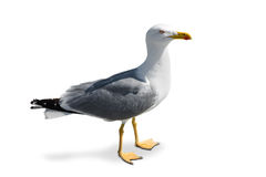 Standing seagull. Standing gray seagull  on white background Stock Images