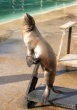 Standing seal. Waiting for food Royalty Free Stock Photography